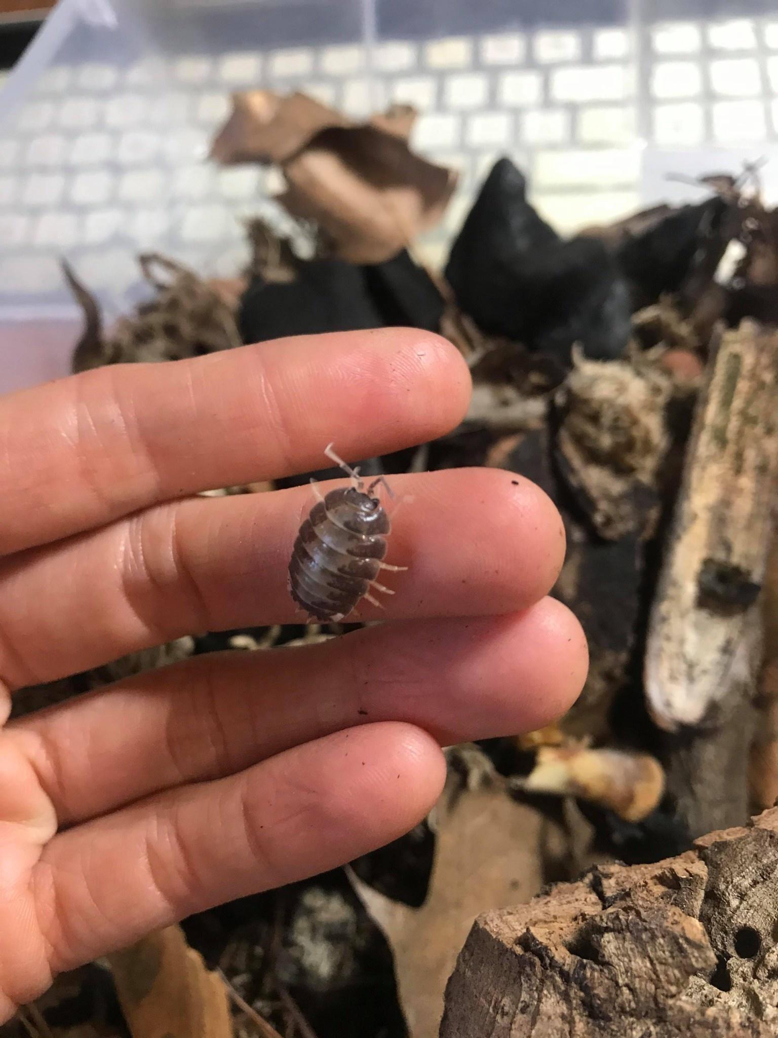Magazoo Culture  de Cloporte Isopod Porcellion Leavis Milk