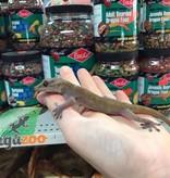 Magazoo Gecko jaune d'Indonésie (Femelle)