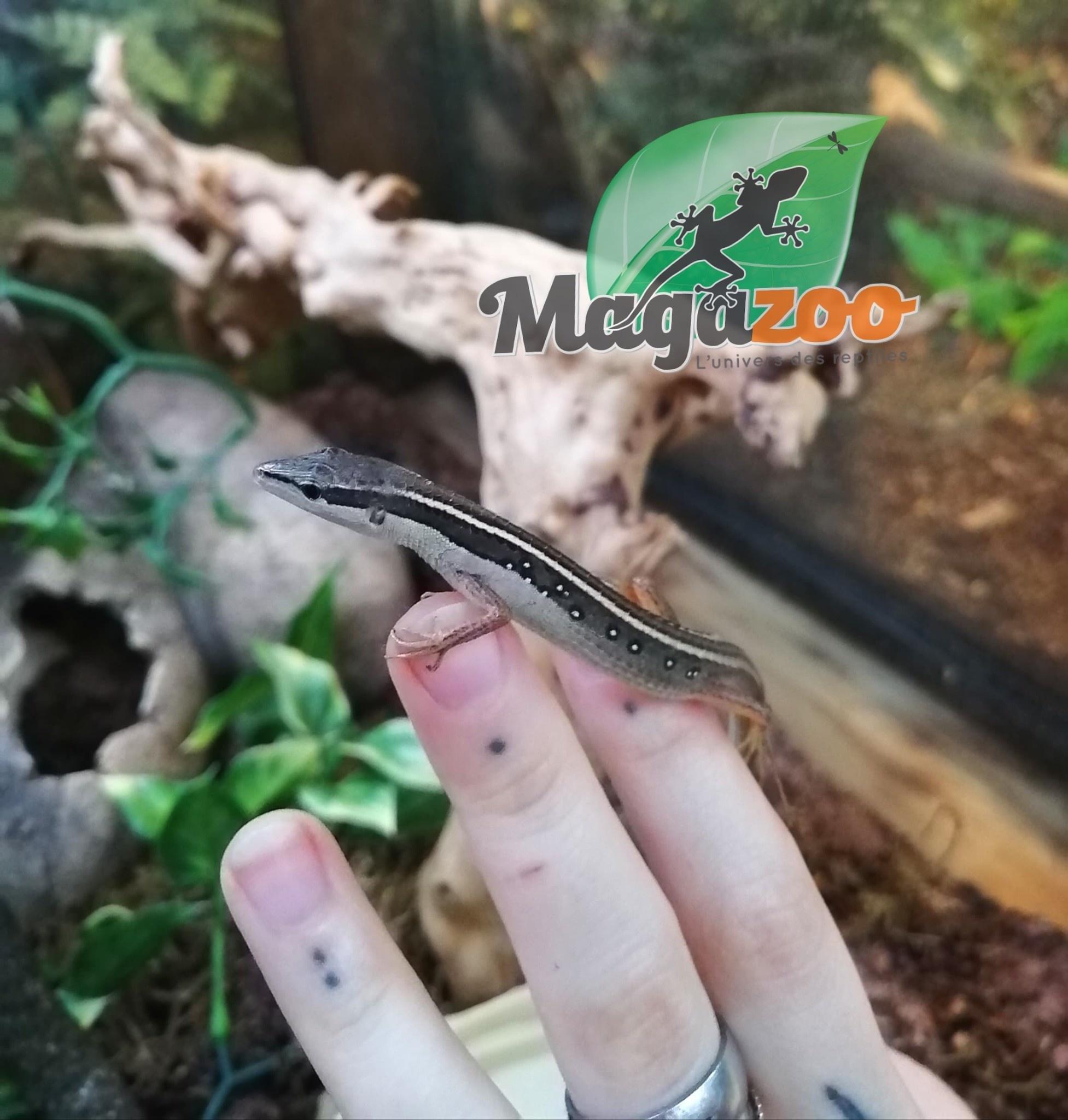 Magazoo Lézard à longue queue Mâle