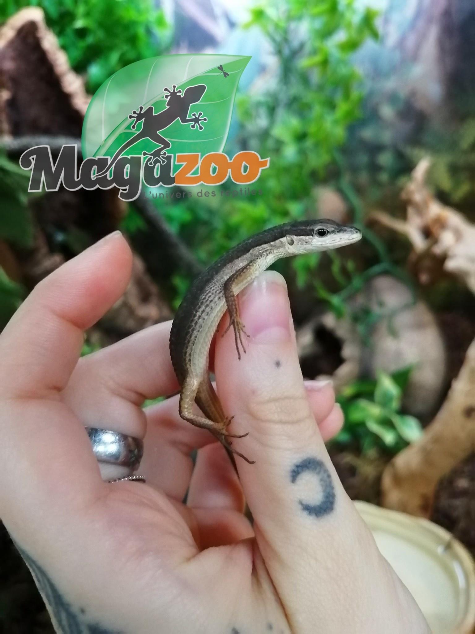 Magazoo Lézard à longue queue Femelle