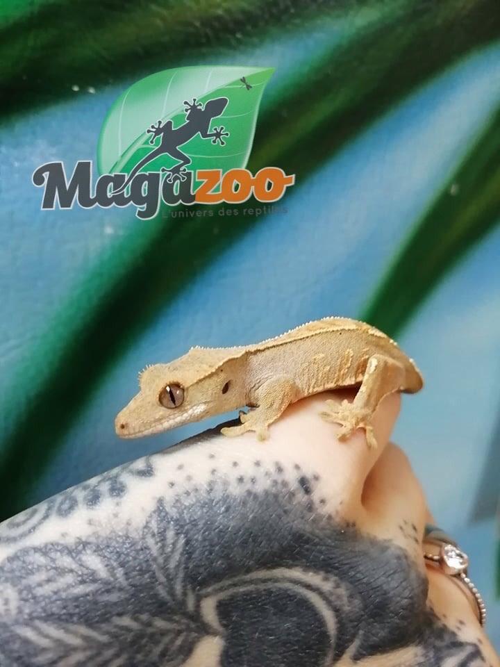 Magazoo Gecko à crête Pinstripe Arlequin Dalmatien Bébé