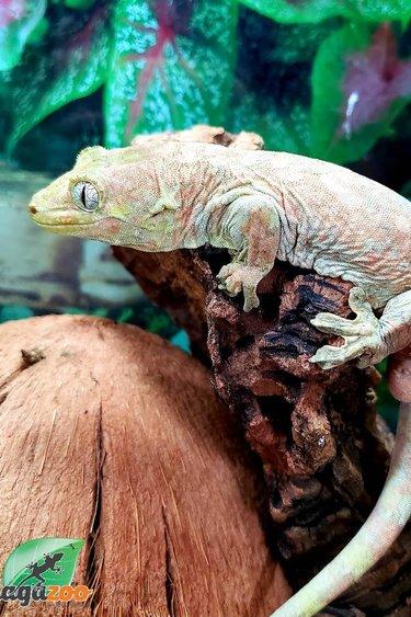 Magazoo Gecko chahoua Mâle