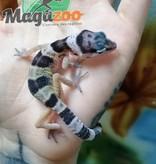 Magazoo Gecko Léopard Régulier Bébé
