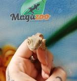 Magazoo Gecko à Crête Tigre Pinstripe Bébé