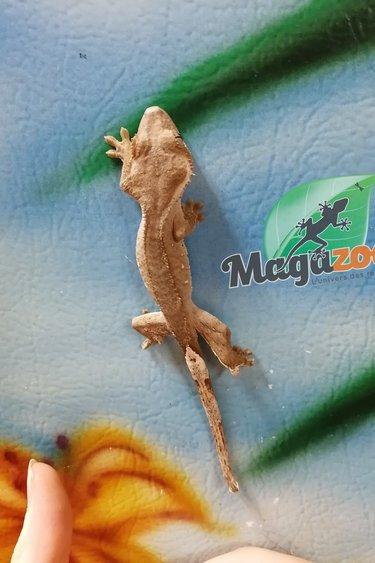 Magazoo Gecko à Crête Rouge Bébé