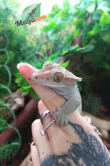 Magazoo Gecko à Crête Mâle 10 ans Adoption - 2ième chance
