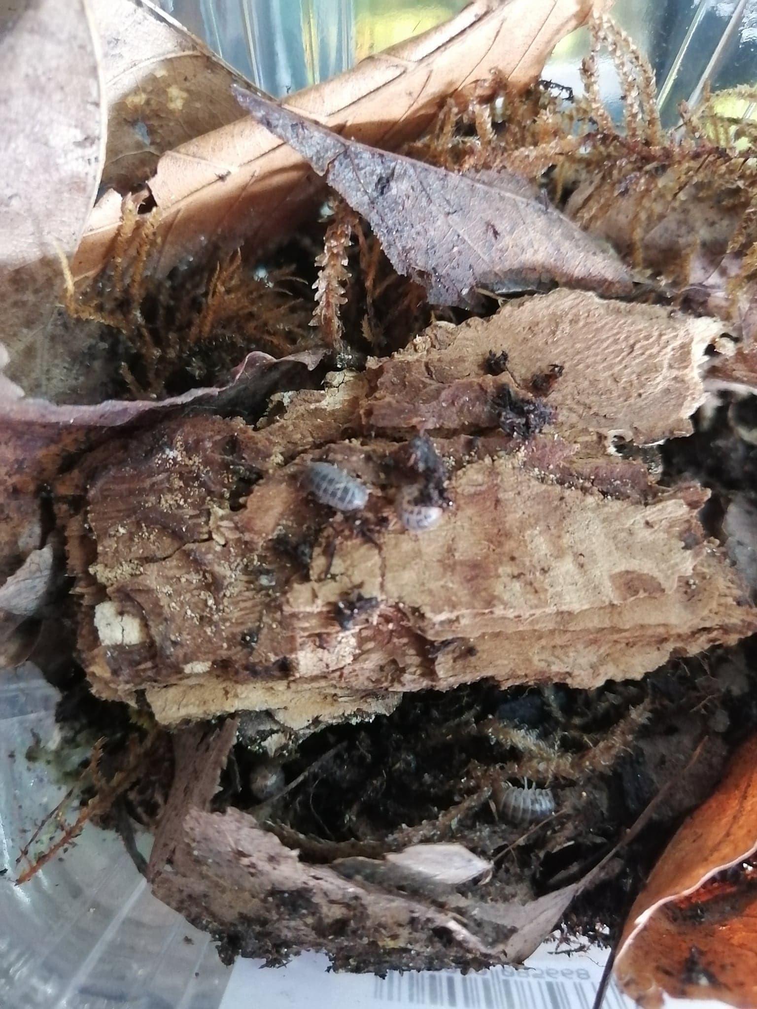 Magazoo Culture de Cloporte Isopod Venezillo parvus  15 pack