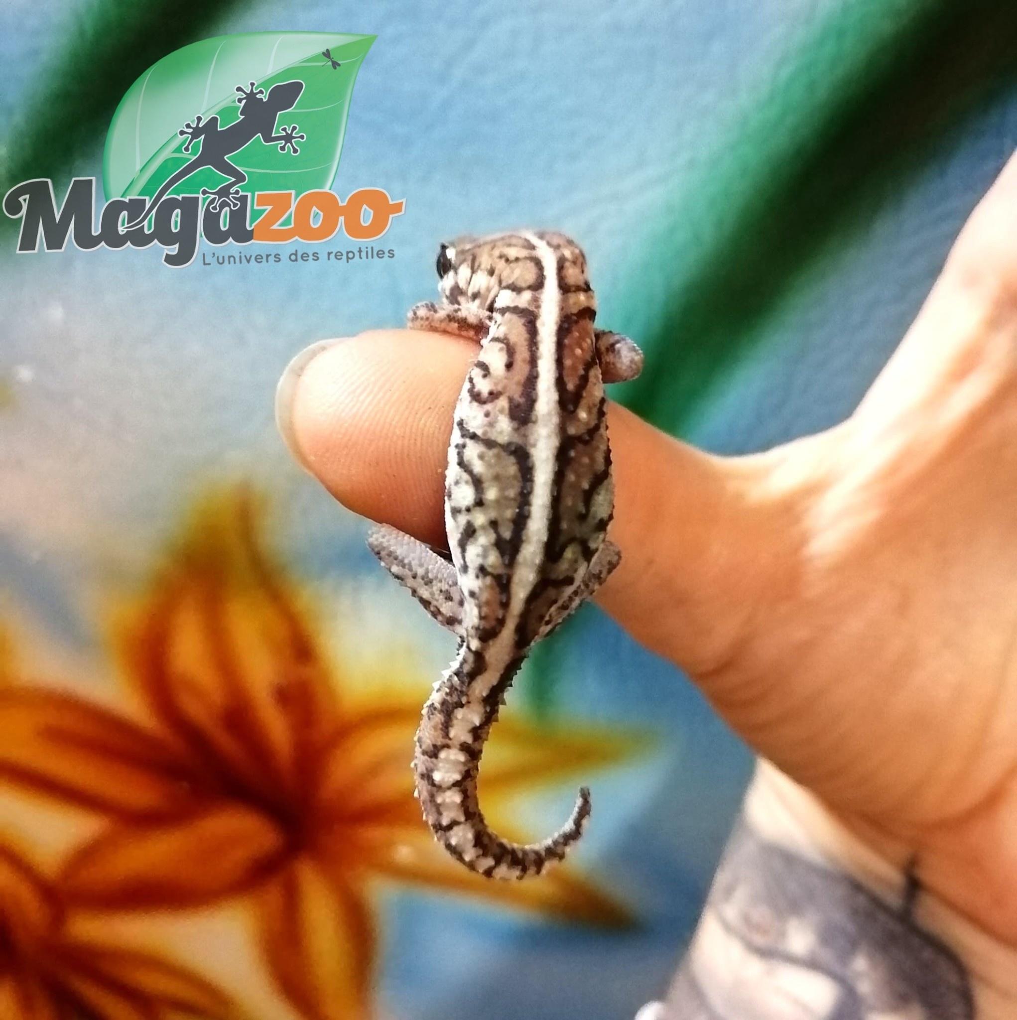 Magazoo Gecko panthère (Pictus) femelle
