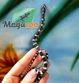 Magazoo Serpent des Blés Noir Femelle Bébé