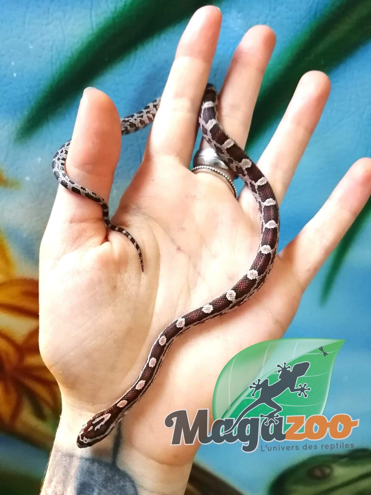 Magazoo Serpent des Blés Régulier bébé mâle