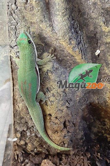 Magazoo Gecko diurne ligné