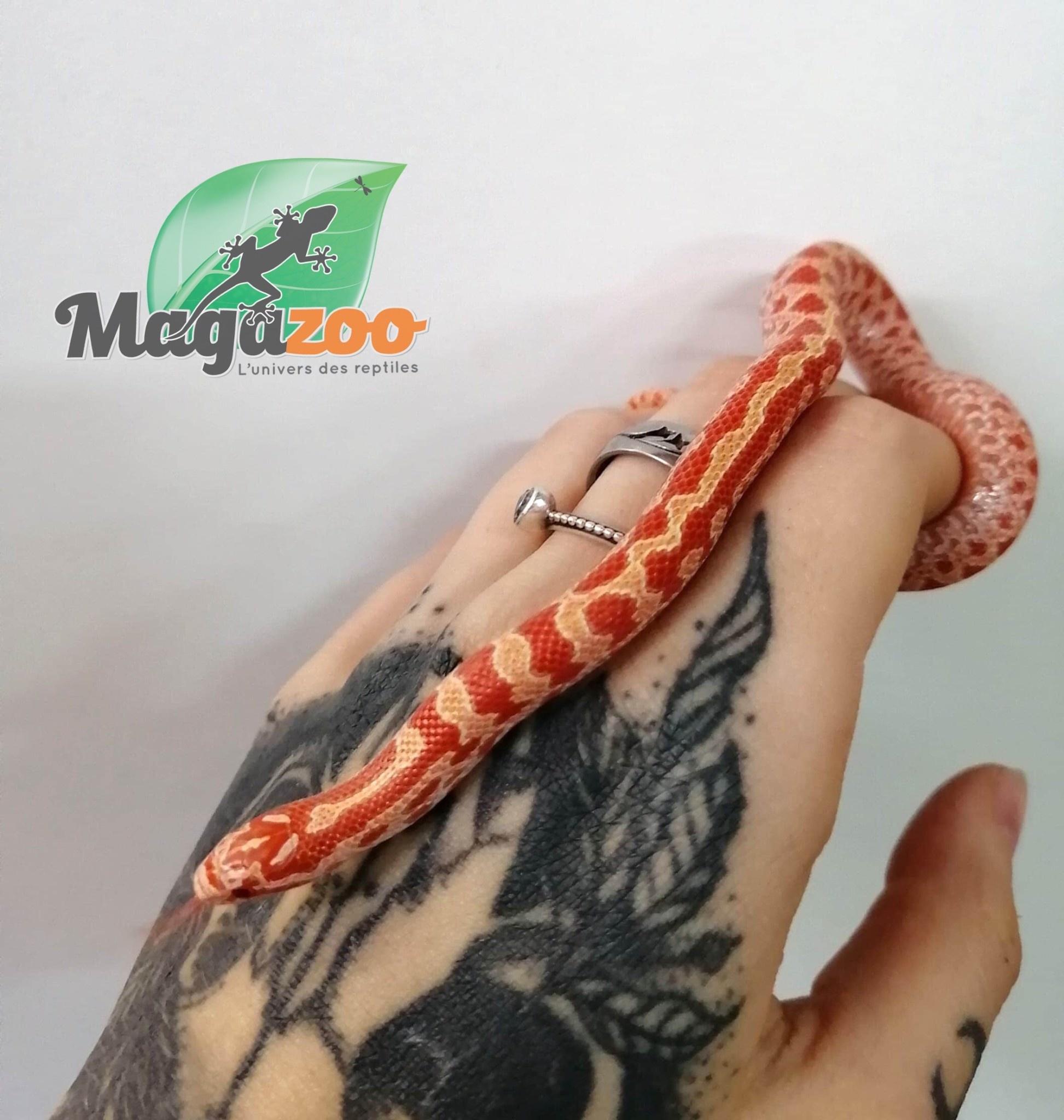 Magazoo Serpent roi des prairies albino bébé