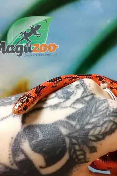 Magazoo Serpent Roi Tacheté (blaze blotch) Bébé