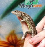 Magazoo Lacerta Léopard Mâle