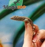 Magazoo Lacerta Léopard Femelle