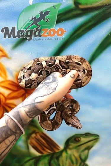 Magazoo Boa constrictor Anery Het albino Femelle
