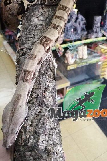 Magazoo Boa constrictor Colombien (Femelle)