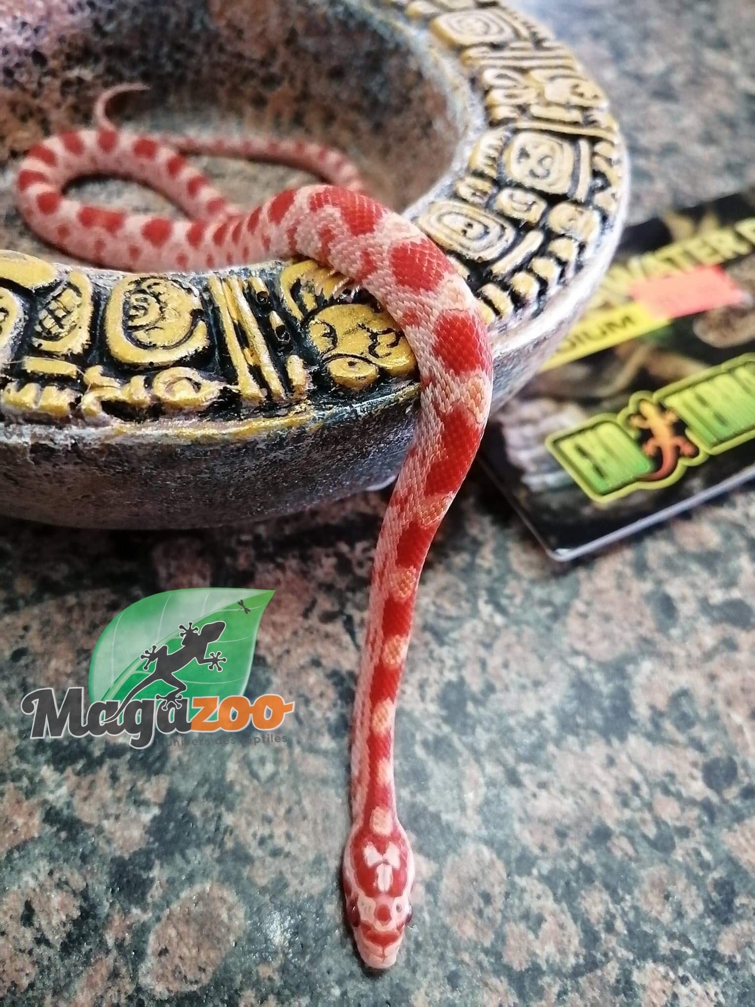 Magazoo Serpent des blés Reverse Okeetee (Mâle)