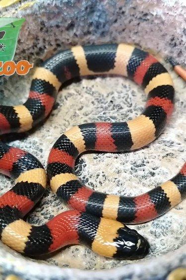 Magazoo Serpent laitier pueblan (abricot)