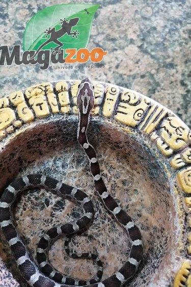 Magazoo Serpent des blés Anery Femelle