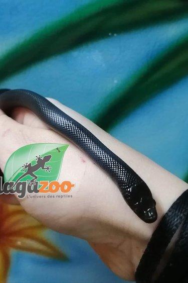 Magazoo Serpent Roi Noir du Mexique Femelle