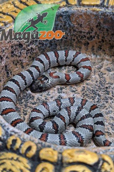 Magazoo Serpent roi variable bébé femelle