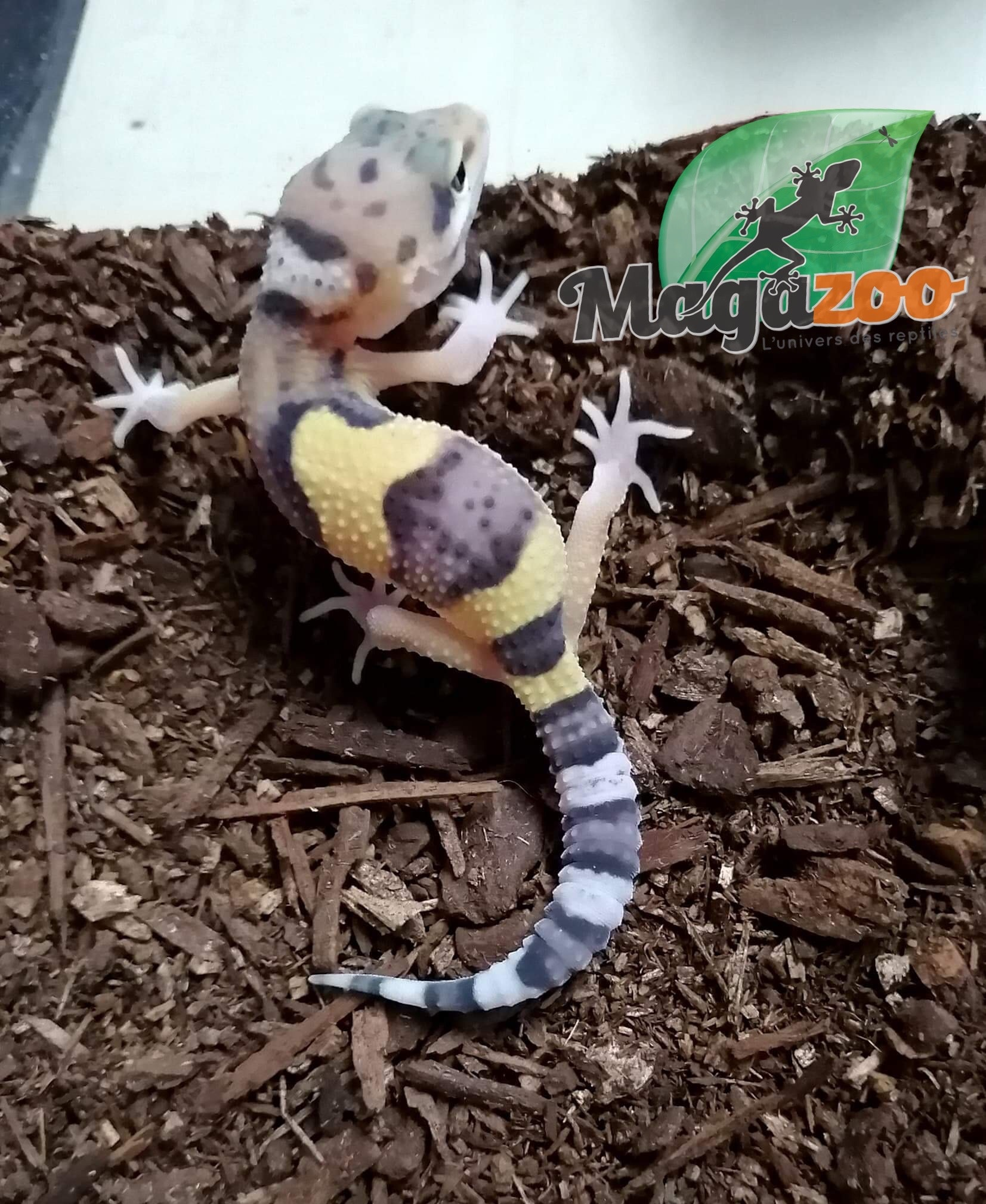 Magazoo Gecko Léopard W & Y (White and Yellow) bébé