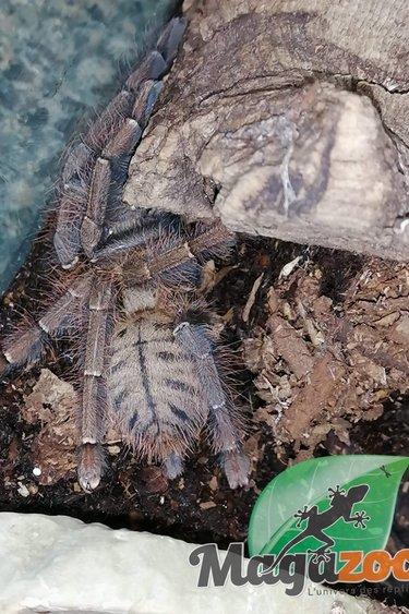 Mygale tigrée de Malaisie (Femelle)/Omothymus schioedtei