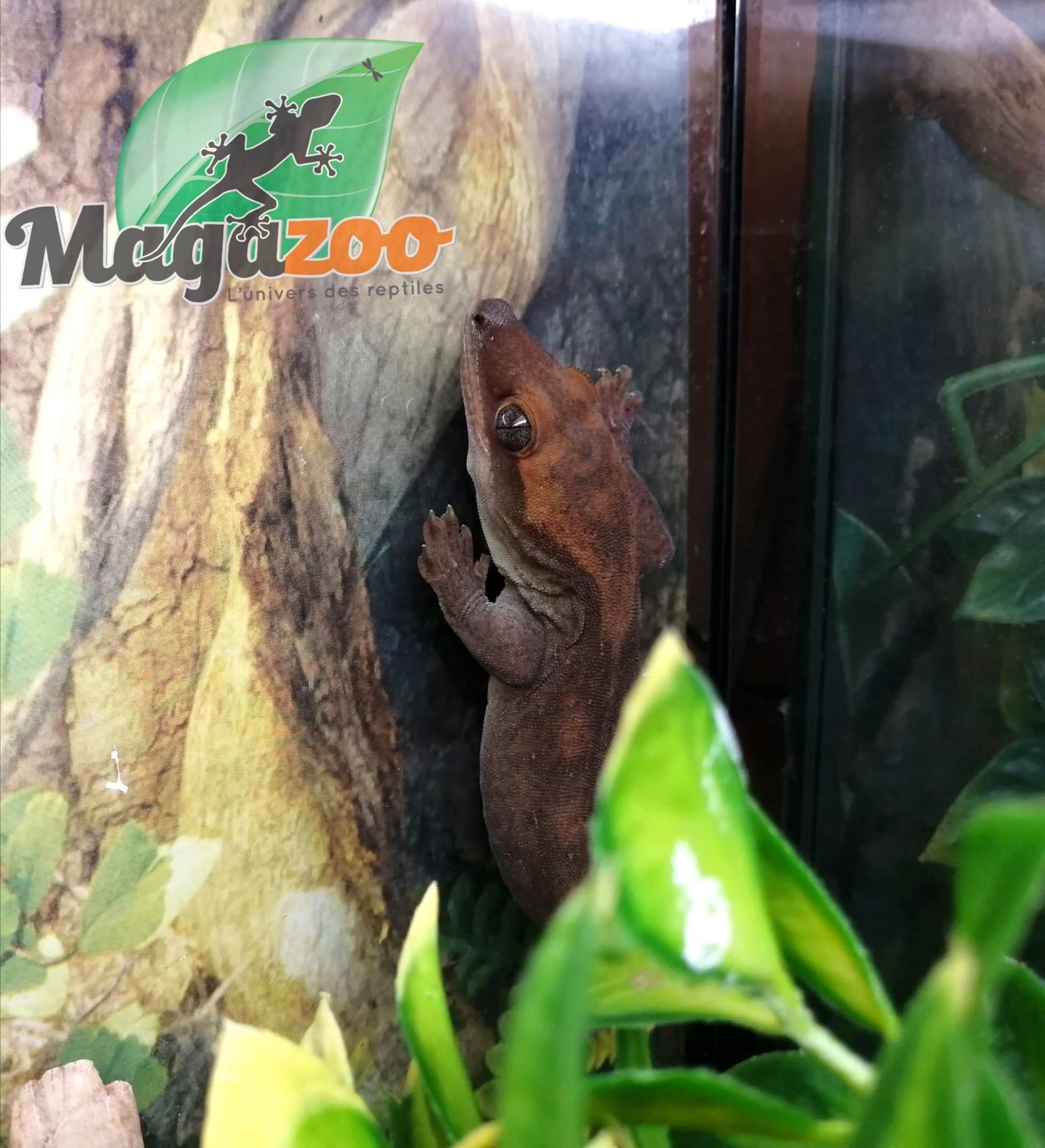 Magazoo Gecko à queue préhensile Sarasinorum mâle (queue couper)