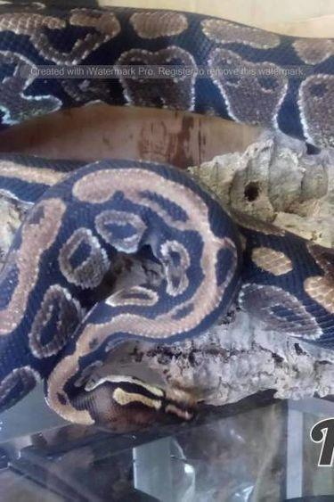 Magazoo Python royal yellow belly Mâle