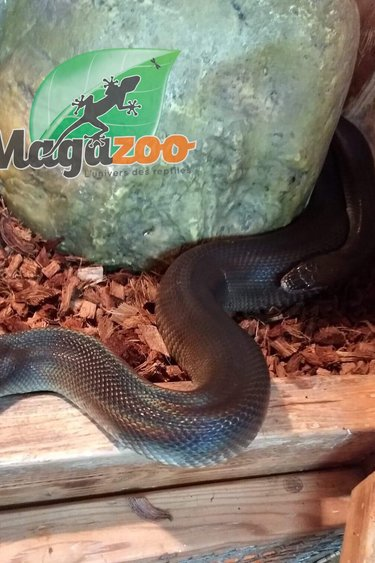 Magazoo Python d'eau australien (Couple adulte)