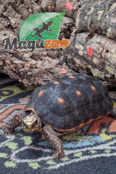 Magazoo Tortue charbonnière femelle 3 ans