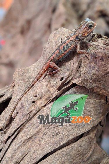 Magazoo Dragon barbu Silkback translucide (Bébé)