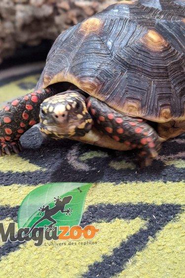 Magazoo Tortue charbonnière 5 ans mâle