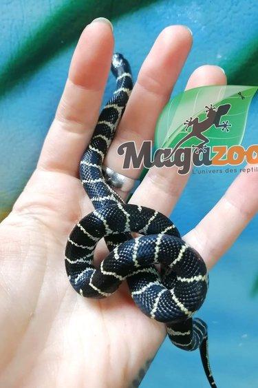 Magazoo Serpent roi de Californie du désert Chocolat Bébé femelle