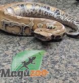Magazoo Python Malais het albinos T+ Mâle