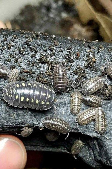 Culture  de Cloporte Isopod Armadilidium depressum