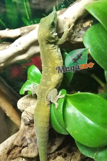 Magazoo Gecko Diurne Géant KOCHI