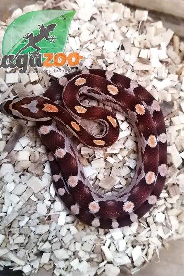 Magazoo Serpent des blés Motley Bébé