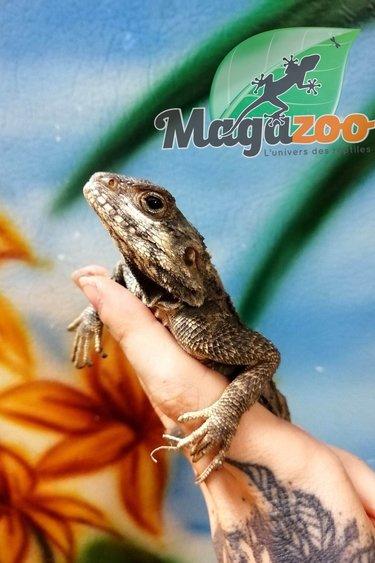 Magazoo Agame Étoile (Stellio) Sub-Adulte