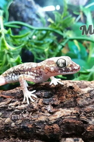 Magazoo Gecko Petri