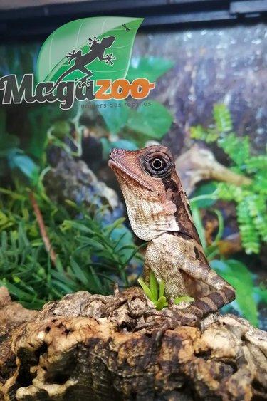 Magazoo Dragon géant des Forêts