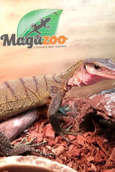 Magazoo Varan à gorge pêche Mâle (Peach throat monitor.)/Varanus jobiensis