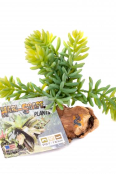 Pet-Tekk Plante sedrum sur bois - Sedrum Plant on Driftwood