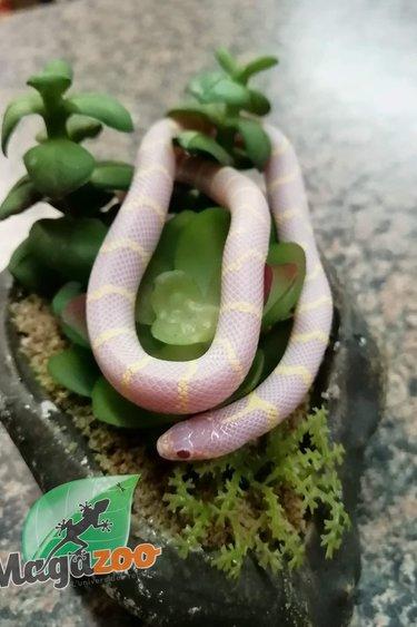 Magazoo Serpent roi de Californie albinos désert bébé Mâle