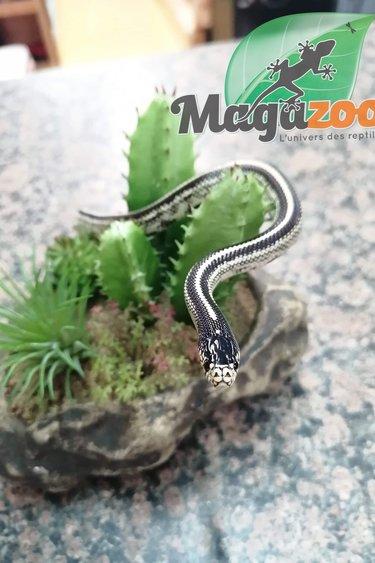Magazoo Serpent roi de Californie (ligné) Bébé mâle