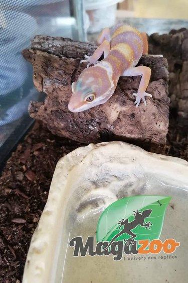 Magazoo Gecko léopard phantom tremper albino