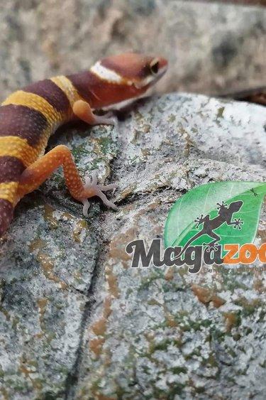Magazoo Gecko léopard Tangerine Tornado (Bébé)