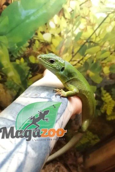 Magazoo Lacerta Vert de Balkan Mâle