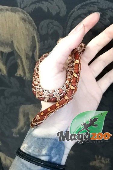 Magazoo Serpent des blés (Femelle)